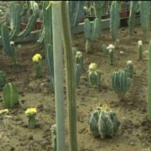 کارآفرینی جوان همدانی با پرورش انواع کاکتوس