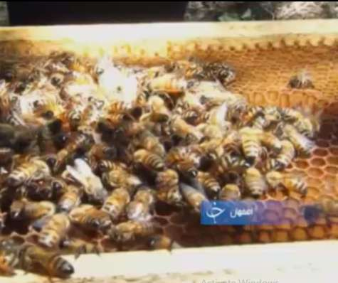 زنبورداری کسب و کاری سود آور ضامن سلامت جامعه