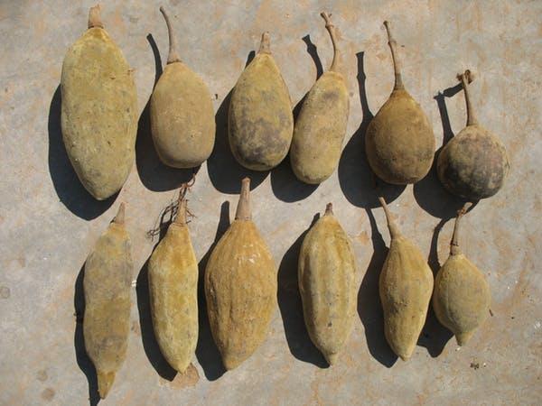 میوه بائوباب