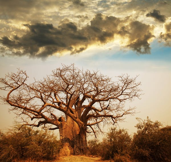 درخت افسانه های بائوباب