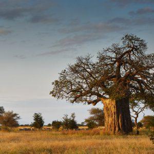 درخت بائوباب درختی با بیش از 300 نوع استفاده