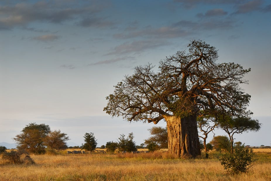 بائوباب درختی ارزشمند با بیش از 300 نوع استفاده