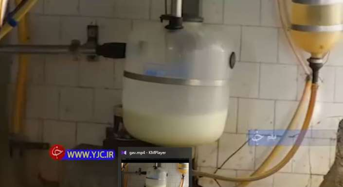 تولید شیر گاو نژاد هولشتاین
