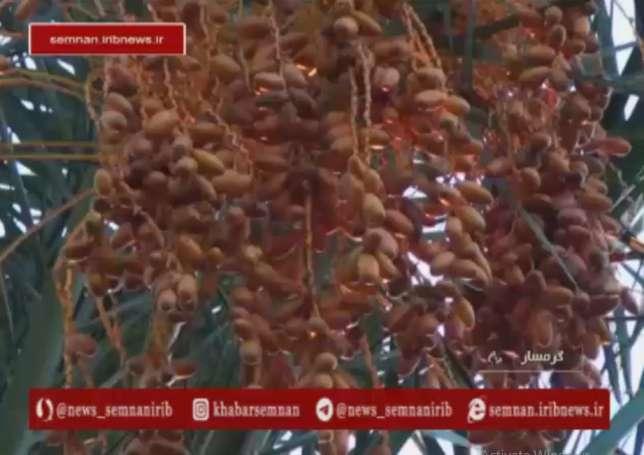 ابتکار تولید خرما در گرمسار