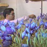 کشت گلخانه ای زعفران در فضای کوچک