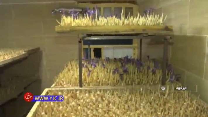 ایده تولید زعفران در خانه