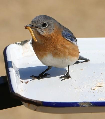 کرم میل ورم برای پرورش پرندگان