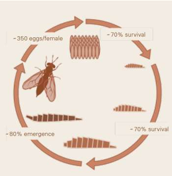 طرح شماتیک چرخه زندگی مگس سرباز سیاه