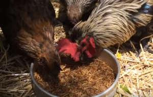 کرم میلورم برای پرورش مرغ و خروس
