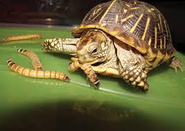 کرم میلورم برای پرورش لاکپشت