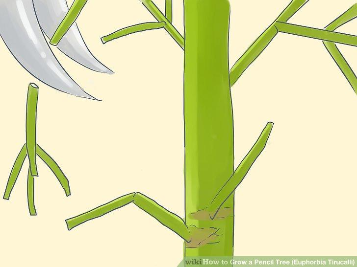 هرس کردن گیاه یوفوربیا تیروکالی (جون من یه برگ بده)