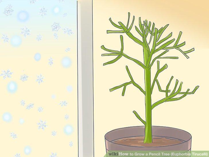 راهنمای پرورش گیاه درخت مدادی (یوفوربیا تیروکالی)