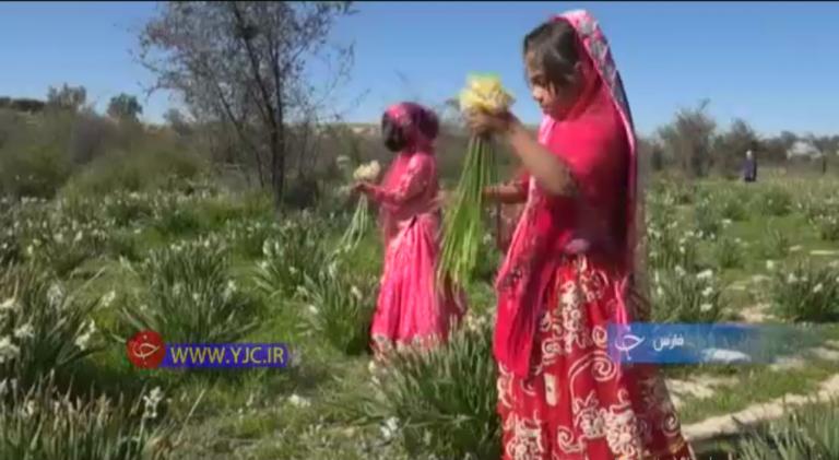 درآمد زایی با گل نرگس