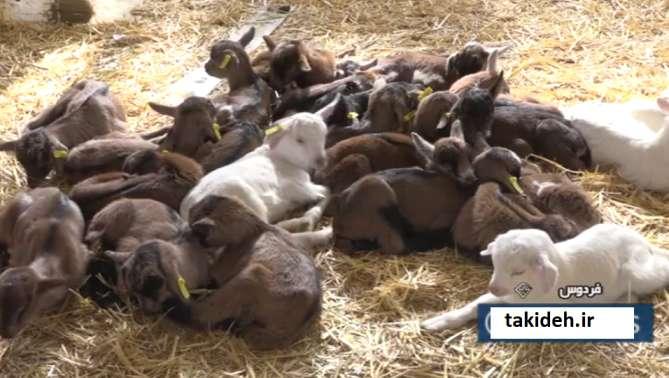ایده پرورش بز و گوسفند چند قلوزا