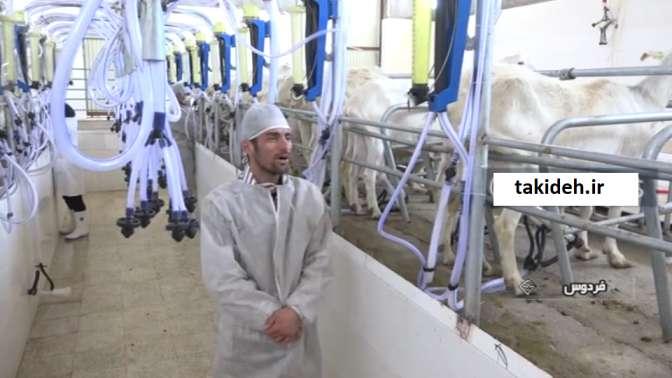 تولید شیر توسط بز و گوسفندهای اصلاح نژاد شده