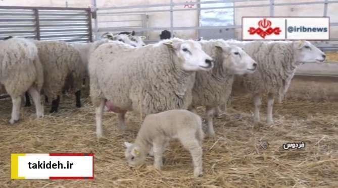 تولید گوشت توسط گوسفندهای اصلاح نژاد شده