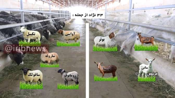 بهترین نژادهای اصلاح شده بز و گوسفند