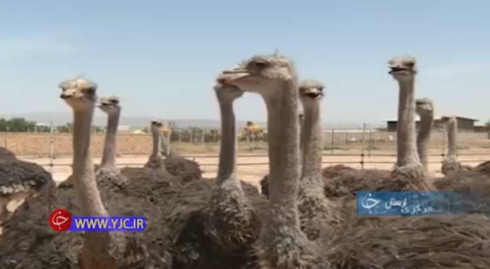 پرورش شتر مرغ توسط کارآفرین روستایی