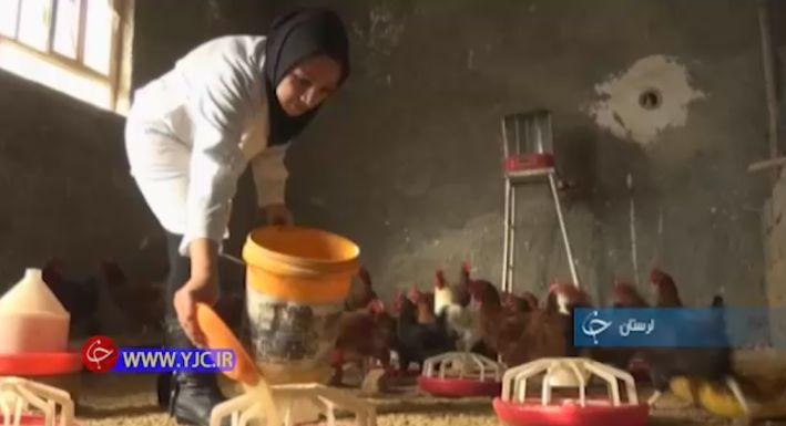 پرورش مرغ بومی توسط بانو کارآفرین