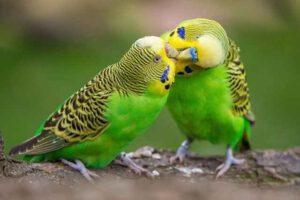 Read more about the article چگونه از مرغ عشق در خانه نگهداری کنیم؟