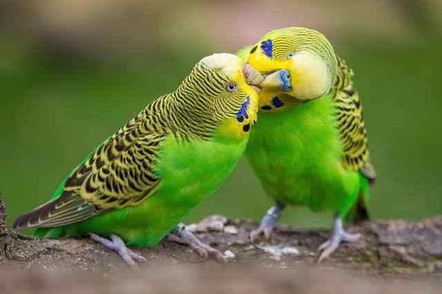 چگونه از مرغ عشق در خانه نگهداری کنیم؟