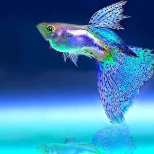قطب پرورش ماهیان زینتی کشور حال و روز خوشی ندارد!