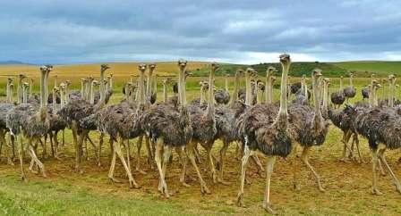 دانستنی ها و آموزش های پرورش شتر مرغ