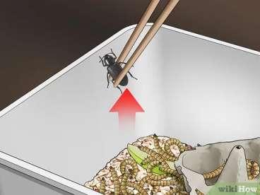 جداسازی سوسک ها از ظرف شفیره ها