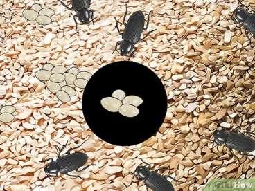جداسازی تخم ها از بستر پرورش سوسک ها