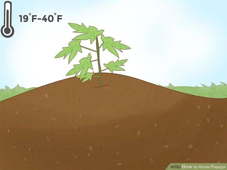 آموزش کشت پاپایا از بذرها