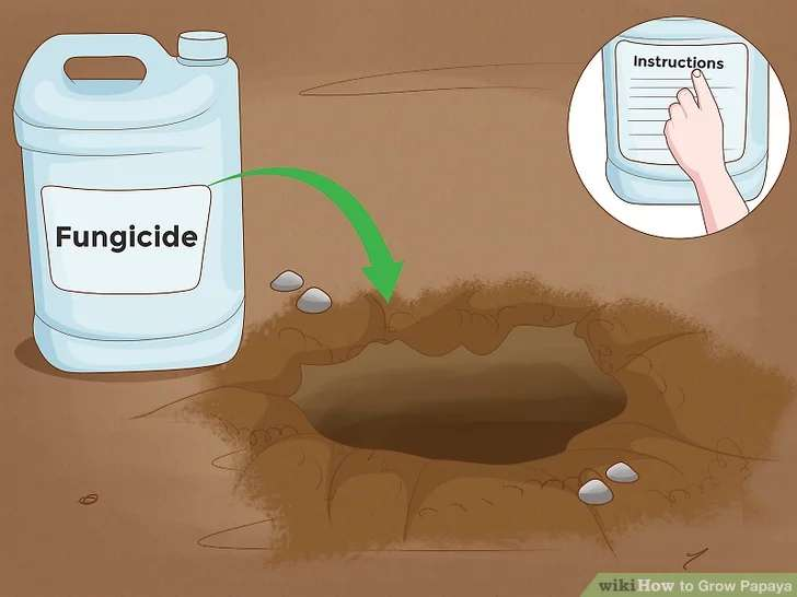 برای کاشت گیاه پاپایا قارچ کش استفاده کنید