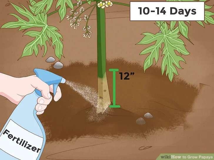 کود دادن به گیاه پاپایا