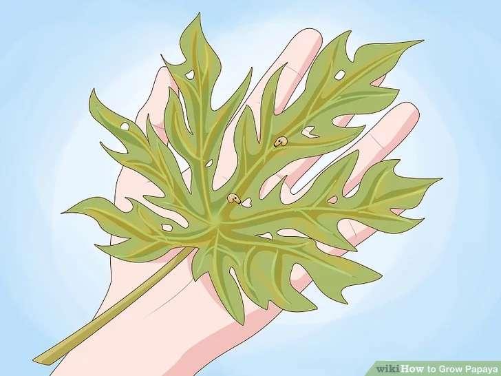 برگ ها و پوست درخت پاپایا را به طور منظم بررسی کنید