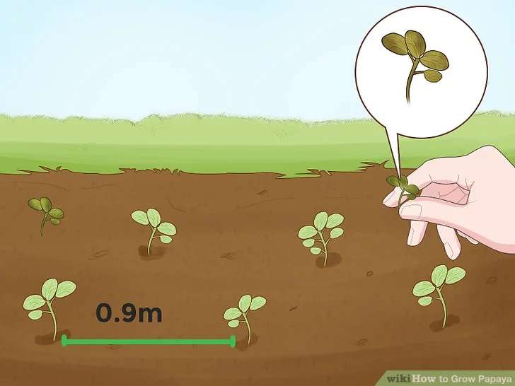 تصمیم بگیرید کدام گیاهان تازه جوانه زده شده باید حفظ شود