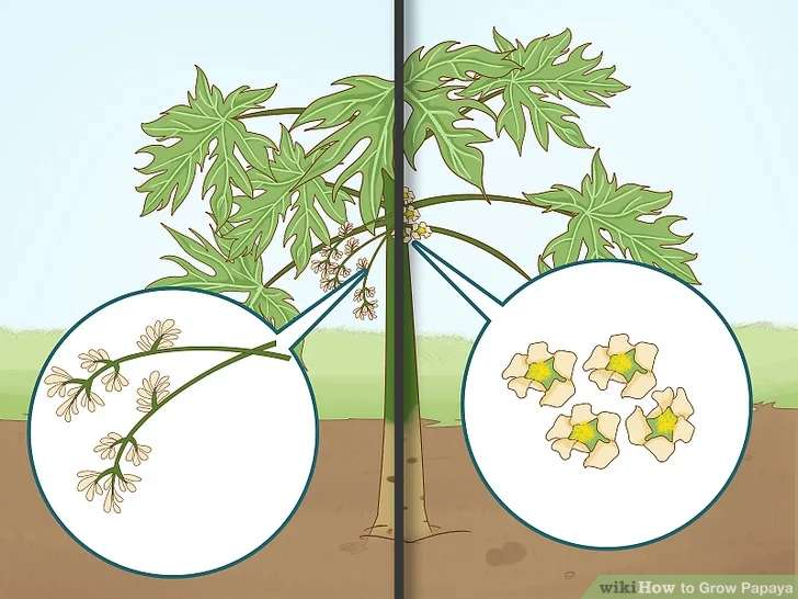 زمانی که گیاه پاپایا گل داد، گیاهان نر اضافی را خارج کنید