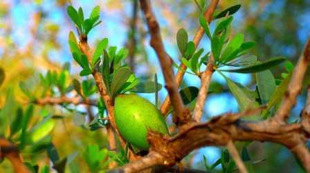میوه درخت آرگان غنی از روغن آرگان است