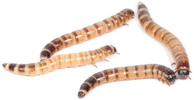 آموزش پرورش سوپر میلورم (Superworms)