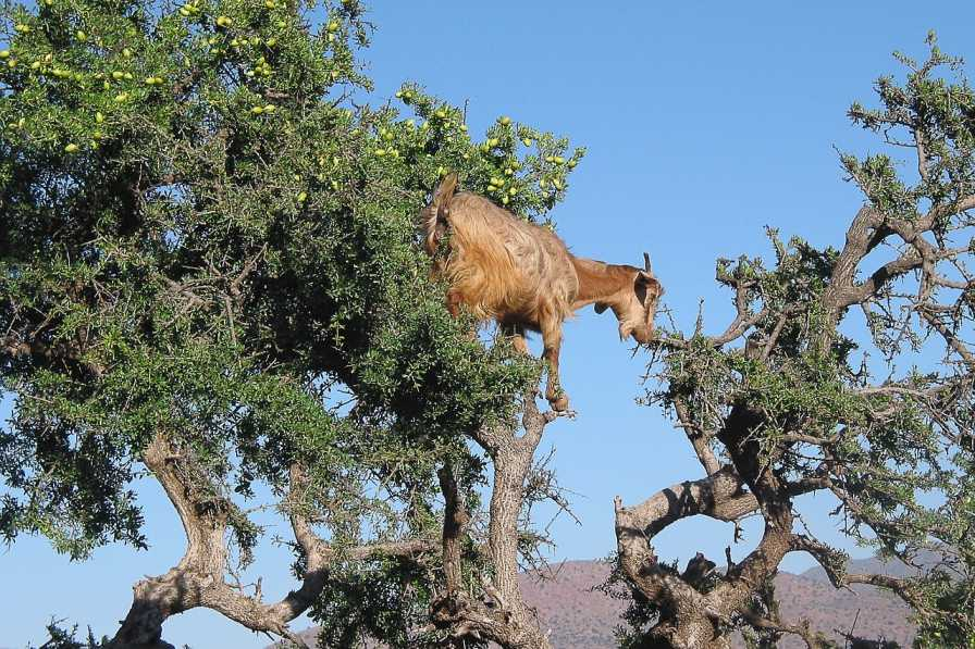 روغن آرگان از میوه درخت آرگان در مراکش استخراج می شود