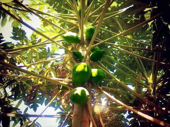 آموزش کشت پاپایا (Papaya)