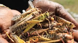 ایده پرورش ملخ در صنعت پرورش حشرات