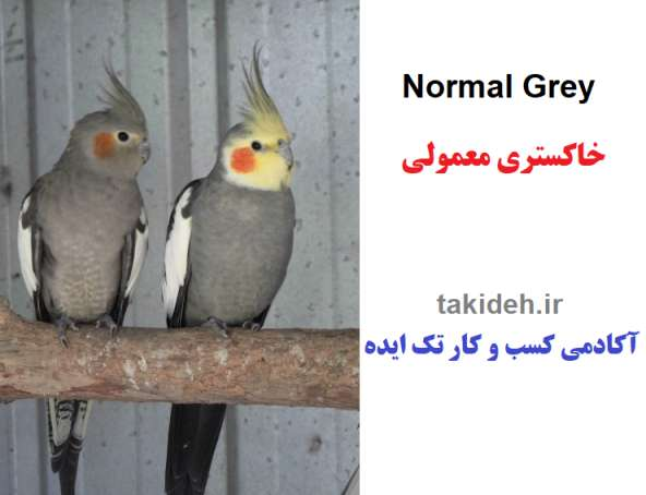 عکس طوطی عروس خاکستری معمولی