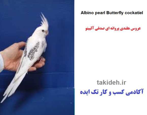 عکس عروس پروانه ای مرواریدی(صدفی) آلبینو