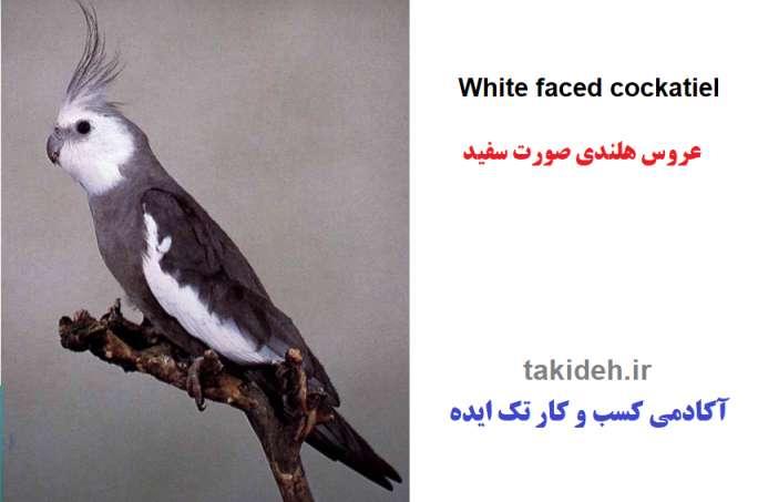 طوطی عروس صورت سفید