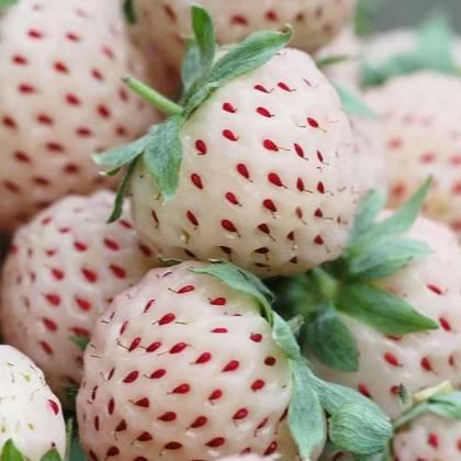 عکس توت فرنگی آناناسی